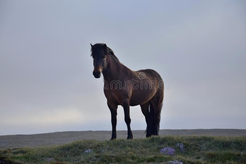 Icelandic horse in the evening light. Bay. royalty free stock photography