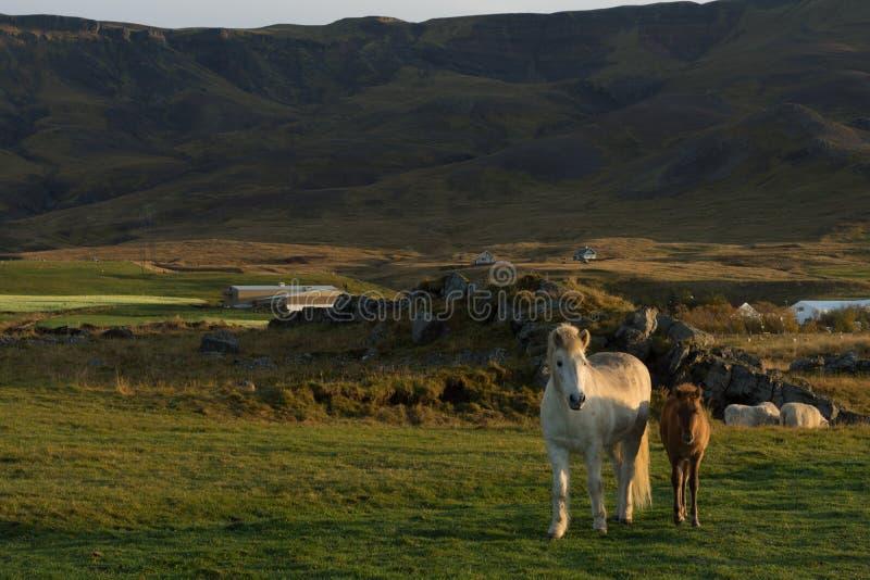 Icelandic horse family on icelandic farm stock image