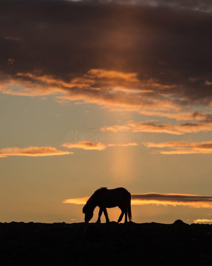 Icelandic horse grazing at sunset royalty free stock photos