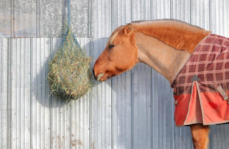 Icelandic Horse and Hay Net royalty free stock image