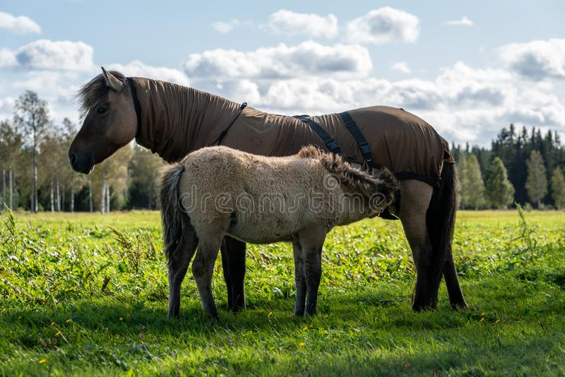 Icelandic horse mare feeding her young foal stock images