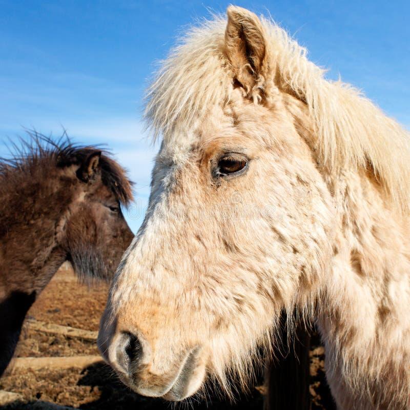 Icelandic horse portrait stock photography