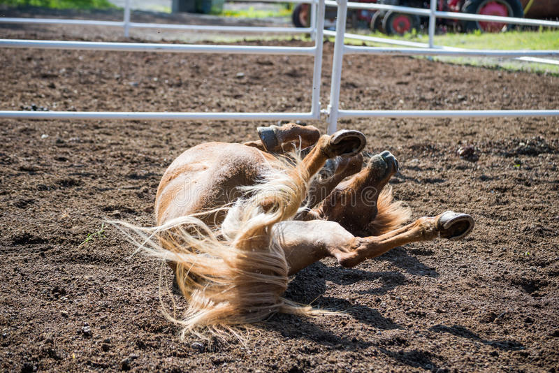 Icelandic horse rolling on ground royalty free stock images