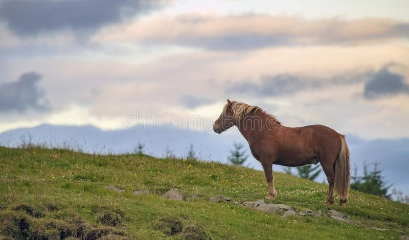 Icelandic horse at sunset royalty free stock photo