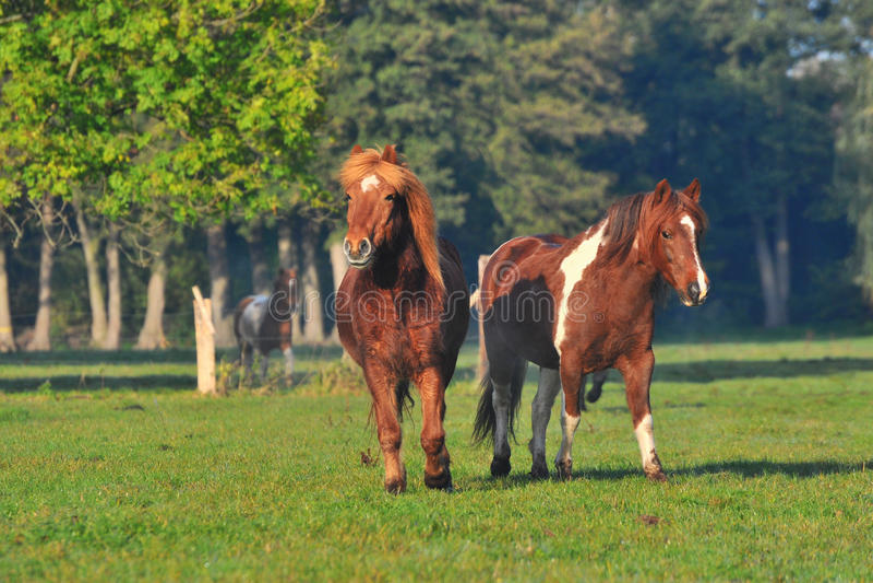 Download Icelandic horses stock photo. Image of islandic, running - 22522490