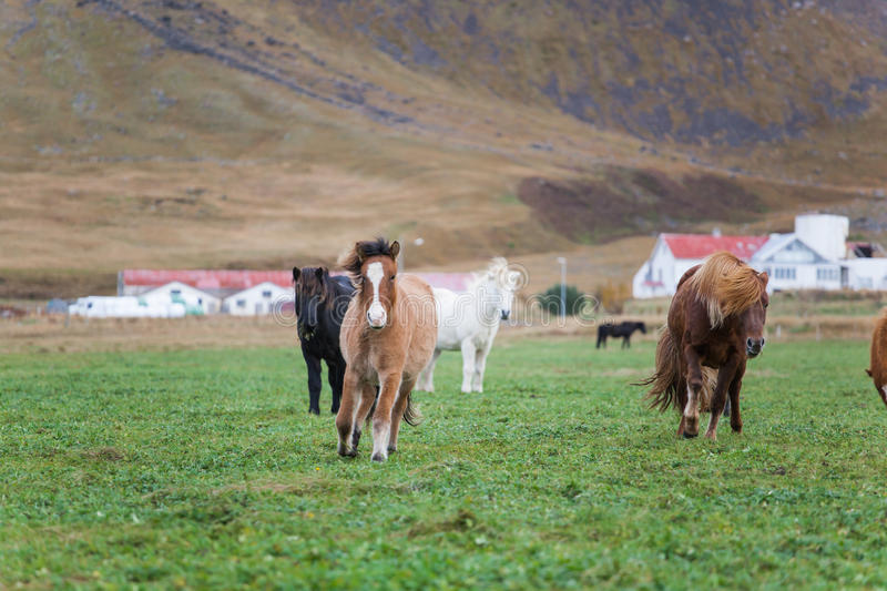 Icelandic Horses. A group of Icelandic Horses Running Towards Camera on a grassy field in front of a mountain stock images
