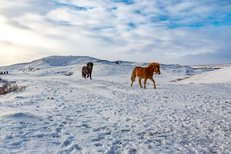 Icelandic horses run down snowy hill. In February stock photo