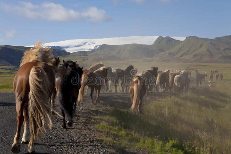 Download Icelandic Horses Running Down A Road Into Fields Stock Image - Image: 12399013