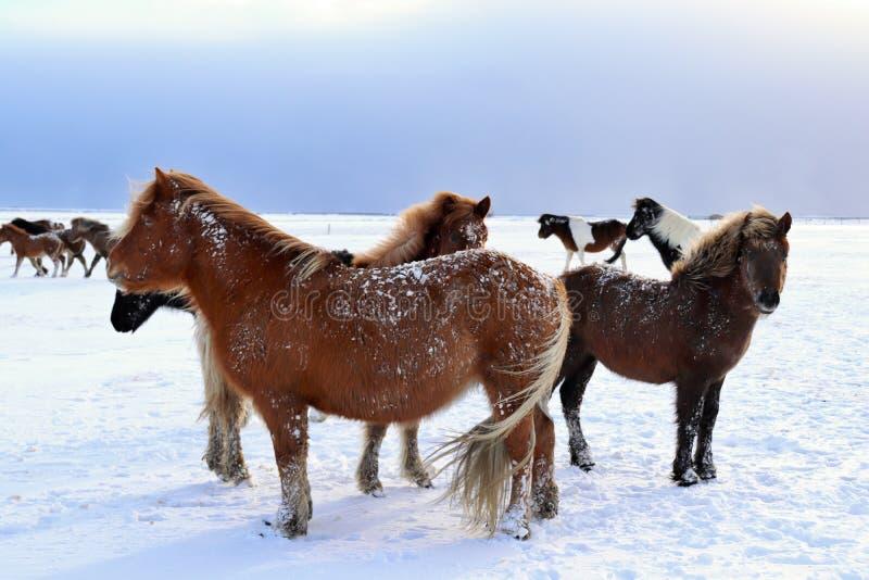 Icelandic horses in winter stock images