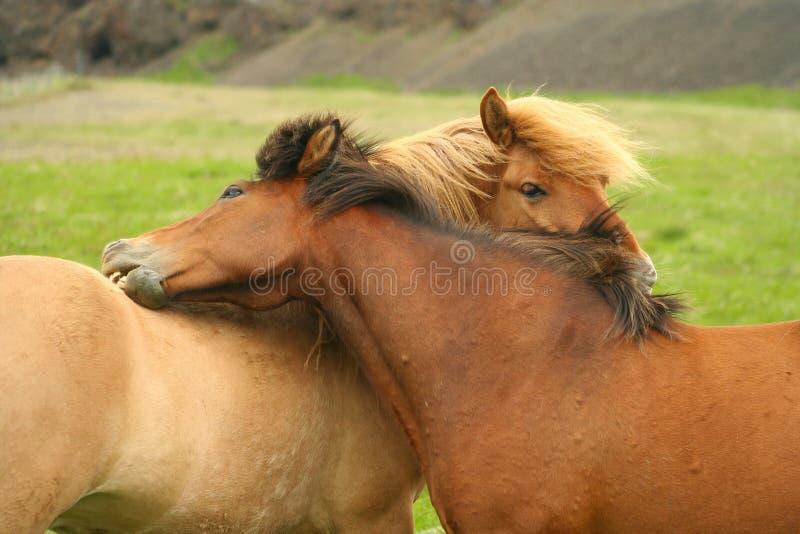 icelandic omfamninghästar arkivfoto
