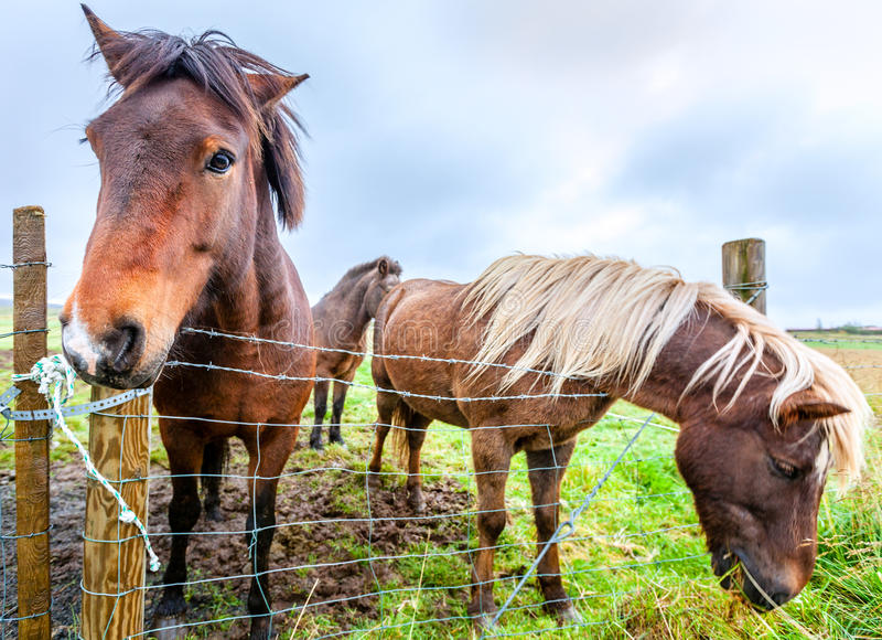Download Icelandic ponies stock photo. Image of pasture, equestrian - 41702642