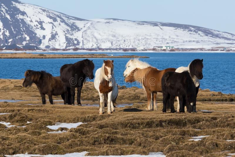 Icelandic pony on died glass with snow mountain natural landscape royalty free stock images