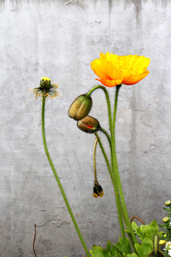 Icelandic Poppies on Gray with Buds stock photos