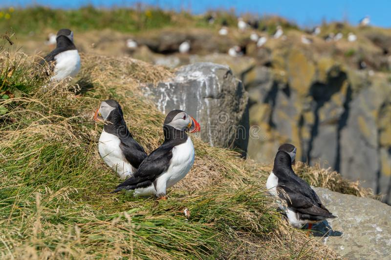Icelandic Puffisn sitting in the grass. Puffins sitting in the grass near a Cliff in south Iceland royalty free stock photo