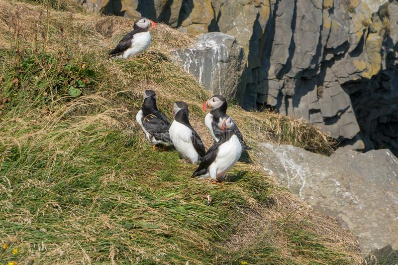 Icelandic Puffisn sitting in the grass. Puffins sitting in the grass near a Cliff in south Iceland stock photo