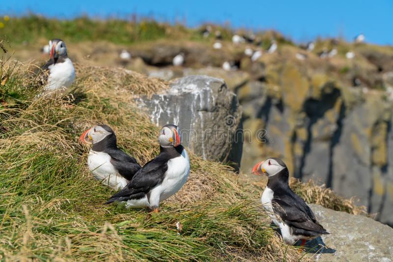 Icelandic Puffisn sitting in the grass. Puffins sitting in the grass near a Cliff in south Iceland royalty free stock images