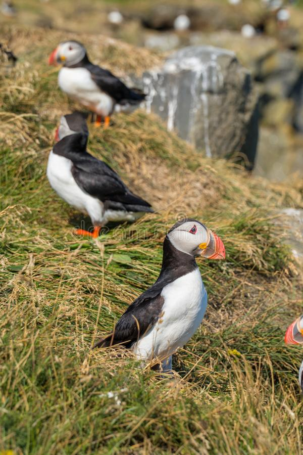 Icelandic Puffisn sitting in the grass. Puffins sitting in the grass near a Cliff in south Iceland stock images