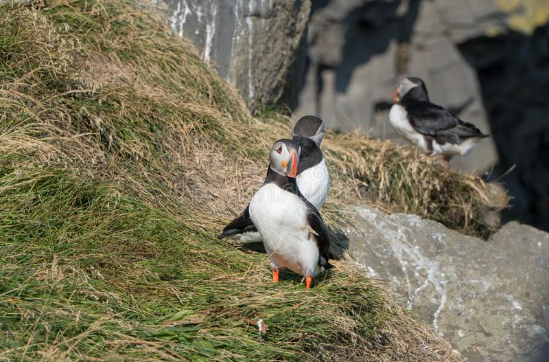 Icelandic Puffisn sitting in the grass. Puffins sitting in the grass near a Cliff in south Iceland royalty free stock image