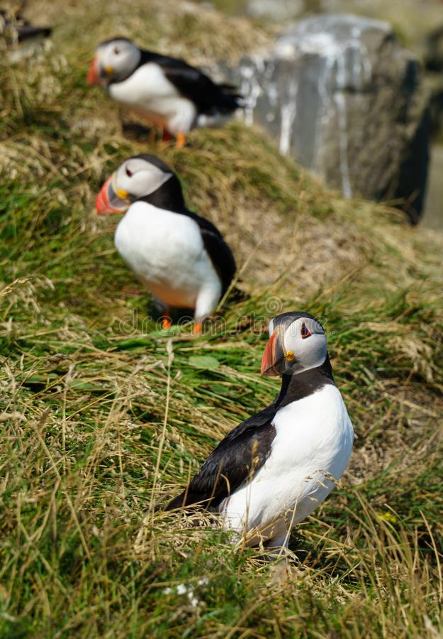 Icelandic Puffisn sitting in the grass. Puffins sitting in the grass near a Cliff in south Iceland royalty free stock photos
