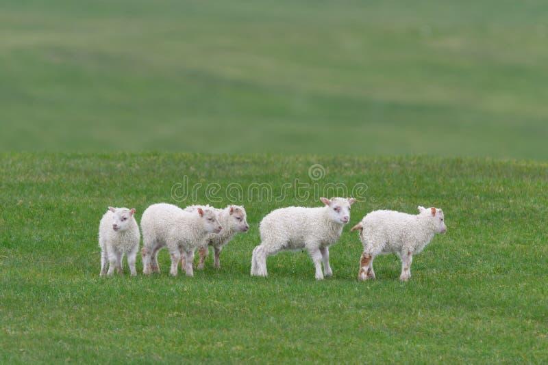 Icelandic sheep íslenska sauðkindin. The Icelandic sheep Icelandic: íslenska sauðkindinis a breed of domestic sheep. The Icelandic breed is one of stock photography
