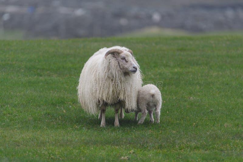 Icelandic sheep íslenska sauðkindin. The Icelandic sheep Icelandic: íslenska sauðkindinis a breed of domestic sheep. The Icelandic breed is one of royalty free stock photos