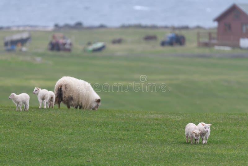 Icelandic sheep íslenska sauðkindin. The Icelandic sheep Icelandic: íslenska sauðkindinis a breed of domestic sheep. The Icelandic breed is one of stock photo