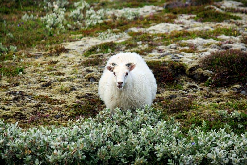 Icelandic Sheep royalty free stock photo