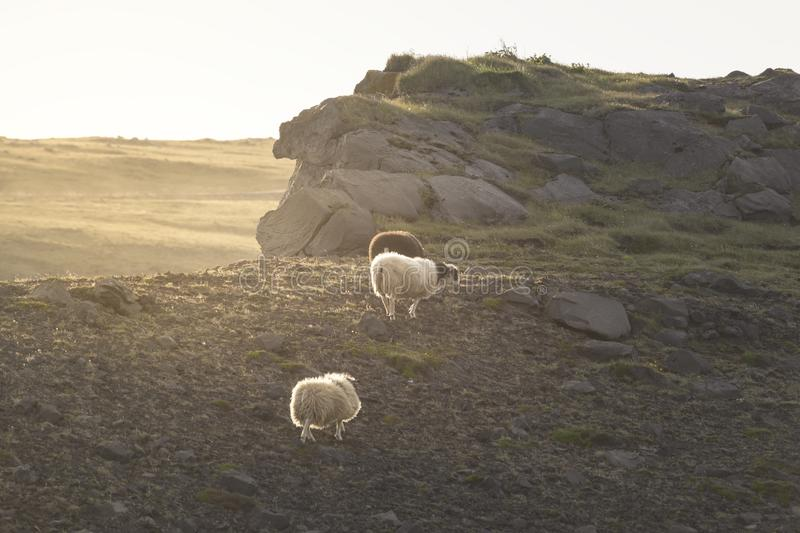 Icelandic sheep on a summer afternoon royalty free stock image