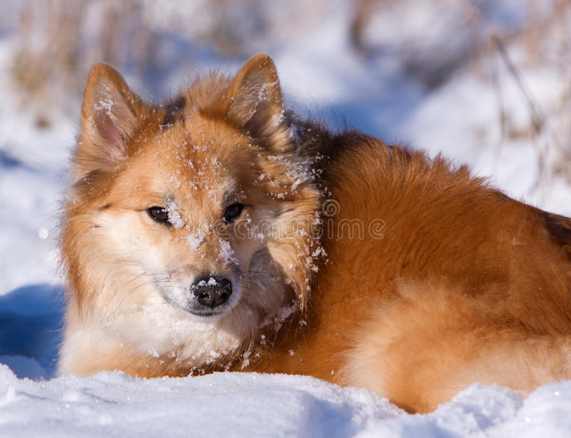 Download Dog in the snow stock image. Image of snow, winter, icelandic - 29038173