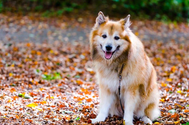 Icelandic sheepdog royalty free stock photography