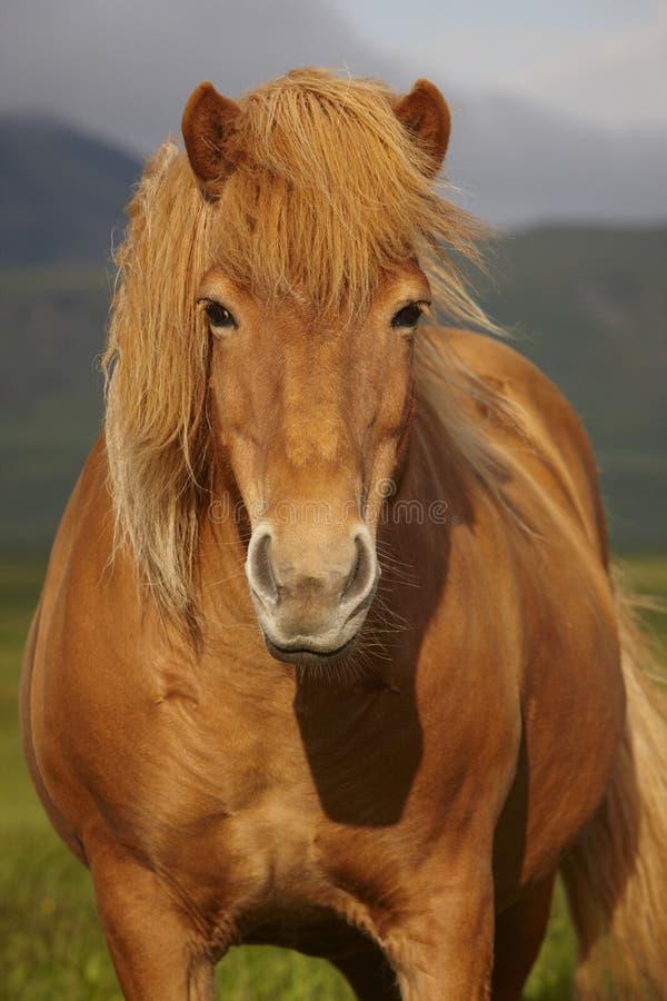 Free Icelandic Wild Horse Closeup Stock Image - 36143291