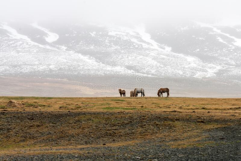 Icelandic wild horses in the harsh climate of Iceland. Snow covered mountains in the background with foggy weather. royalty free stock images