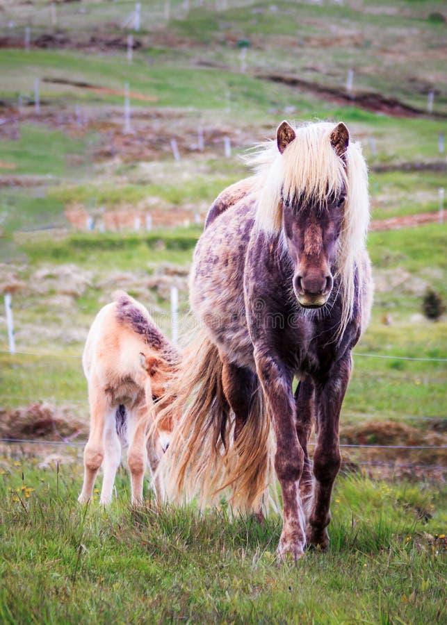 Icelandlic häst och föl royaltyfria bilder