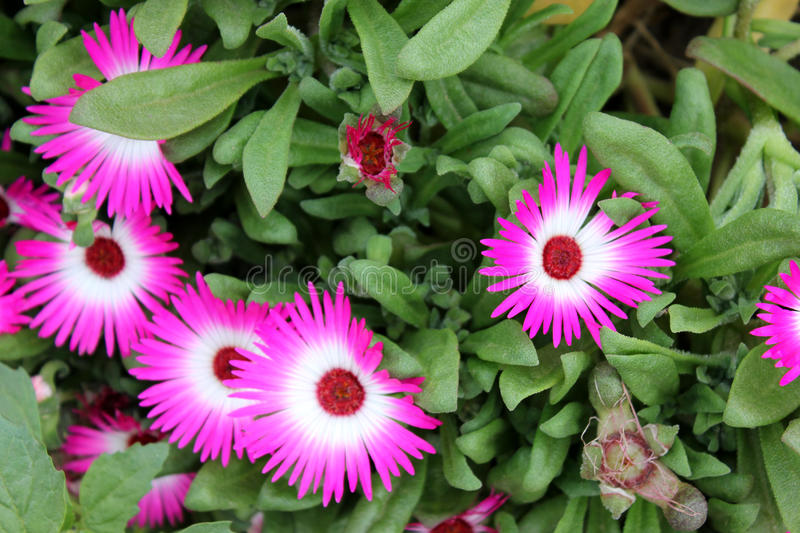 Iceplant, Crystalline iceplant. Mesembryanthemum crystallinum, ornamental spreading herb with ovate to spathulate glistening leaves and 25-40 mm across flowers stock images