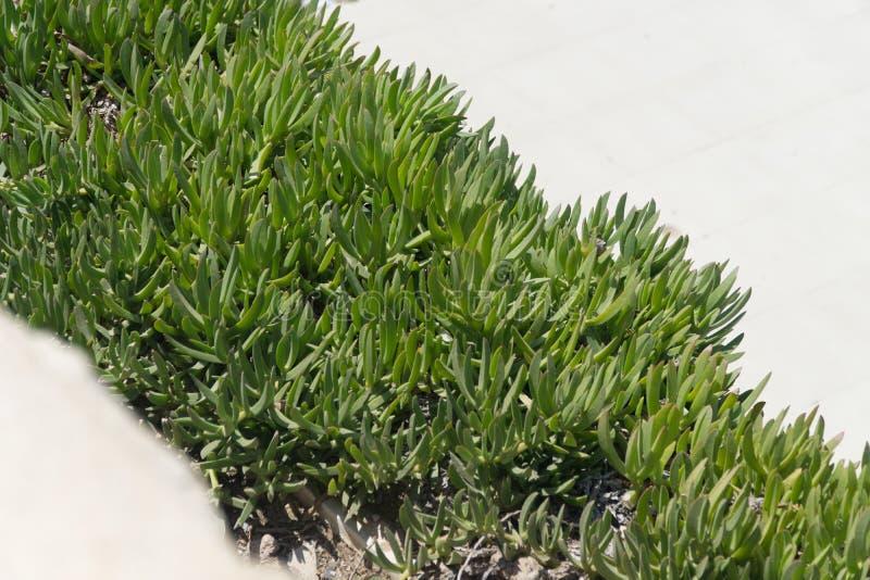 Iceplant Delosperma. On stone underground without blossoms stock image