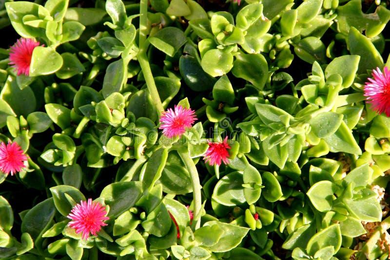 Iceplant Heartleaf, behandla som ett barn solen steg, den Aptenia cordifoliaen royaltyfri fotografi