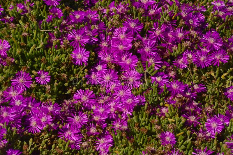 Iceplant. At the Pacific Ocean in San Diego, California stock image