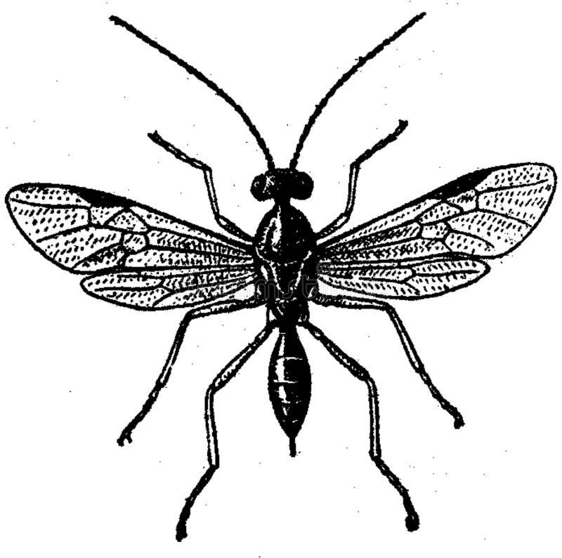 Ichneumon-2 Free Public Domain Cc0 Image