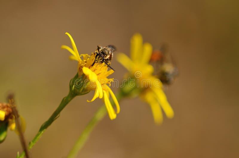 Ichneumon auf dem gelben Wildflower lizenzfreie stockbilder