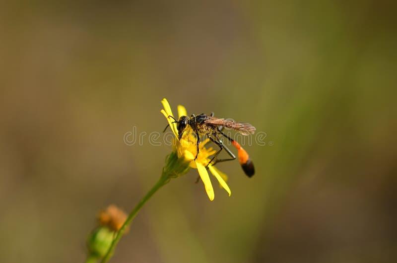 Ichneumon på den gula vildblomman arkivfoto