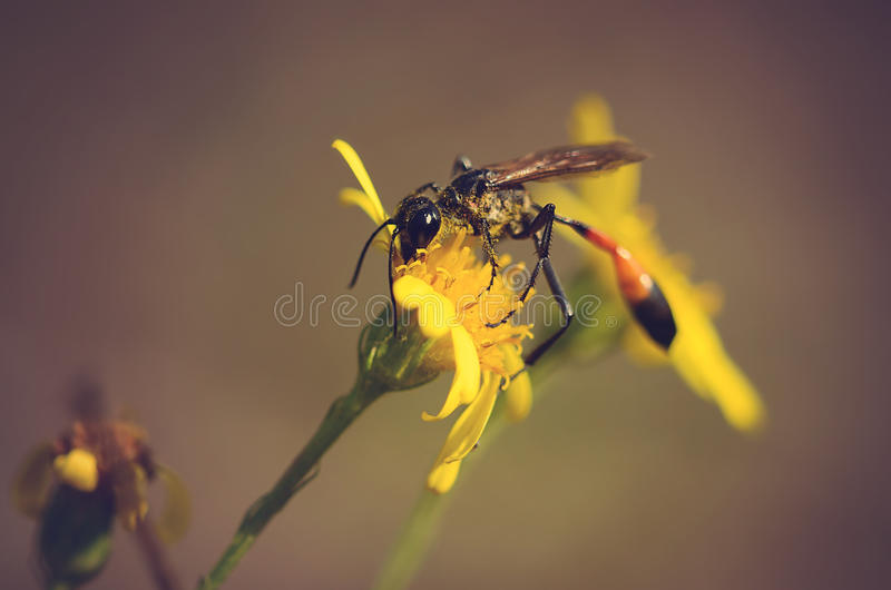 Ichneumon på den gula vildblomman arkivbild