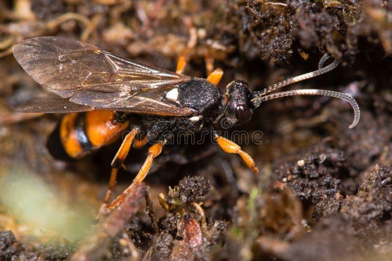 Ichneumon sarcitorius parasitäre Wespe lizenzfreie stockfotos