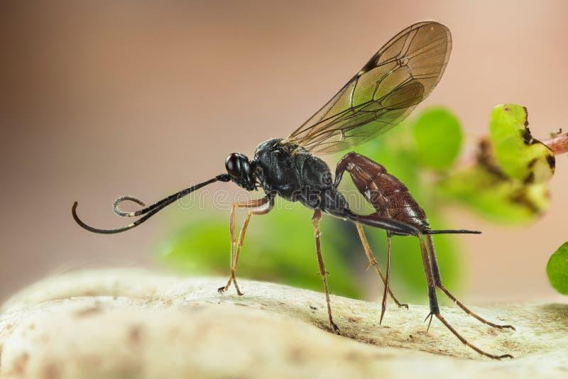 Ichneumon Wasp, Cryptus albitarsis, Wasp royaltyfria bilder