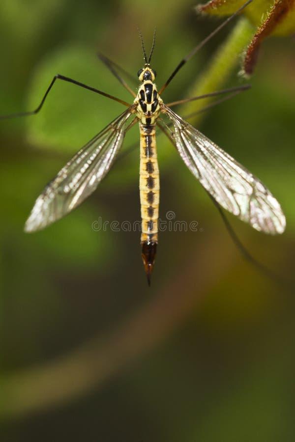 Ichneumon Wasp (Syzeuctus) royaltyfria foton