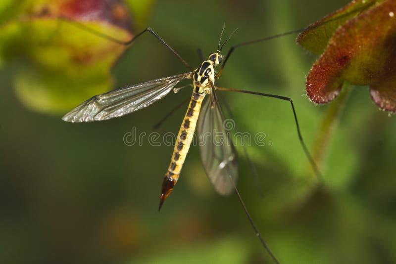 Ichneumon Wasp (Syzeuctus) royaltyfria bilder