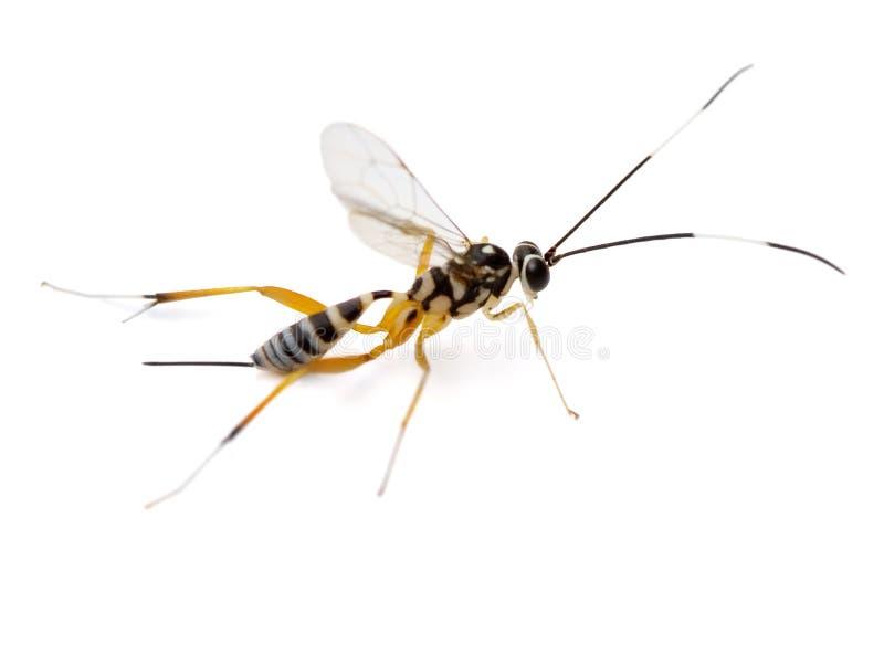 Ichneumon-Wespe stockbilder