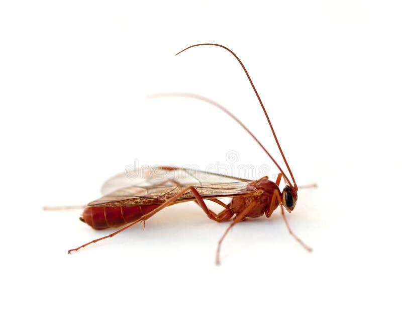 Ichneumon-Wespe stockfotos