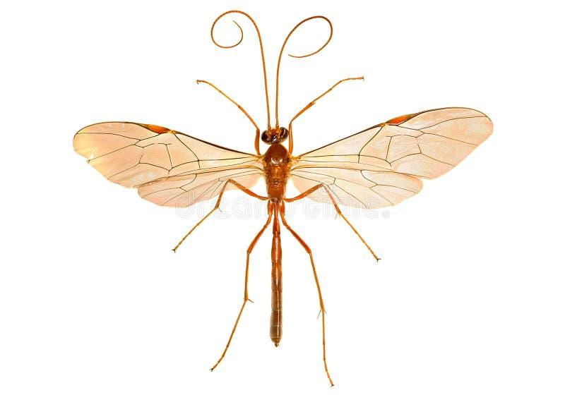 Ichneumon-Wespe auf weißem Hintergrund stockbild