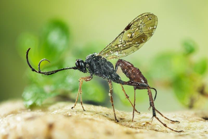 Ichneumon-Wespe, Cryptus-albitarsis, Wespe stockfotografie