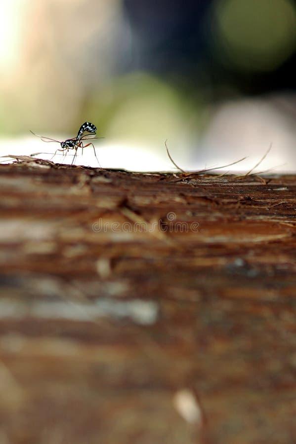 Ichneumon-Wespe, die Eier legt lizenzfreie stockfotografie